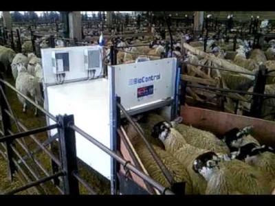 Sheep RFID Race